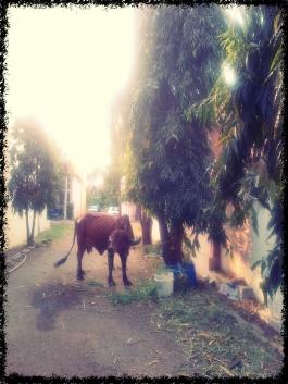 IMG-20140213-00706_Fotor cow2