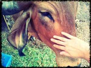 IMG-20140308-cow